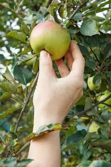 Frauenhand, die einen apfel pflücken. weibliche hand greift nach einem apfel im obstgarten.