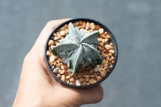 Frauenhand, die einen topf astrophytum-kaktus hält