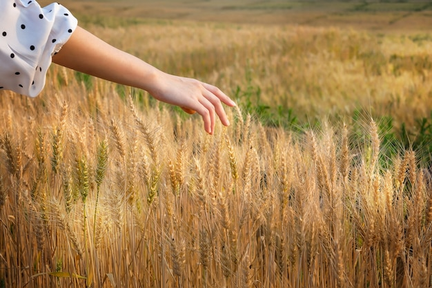 Frauenhand, die einige ohren der gerste zur sonnenuntergangzeit streichelt.