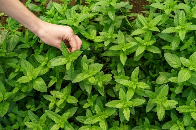 Frauenhand, die frische organische minze im garten berührt.
