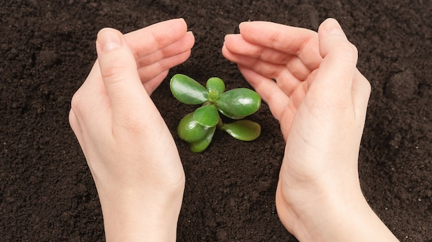 Frauenhand, die jungen grünen spross im boden hält.