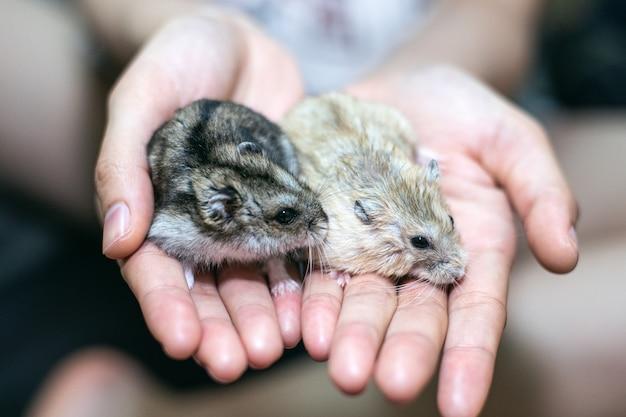Frauenhand, die schöne hamsterfamilie durchlöchert