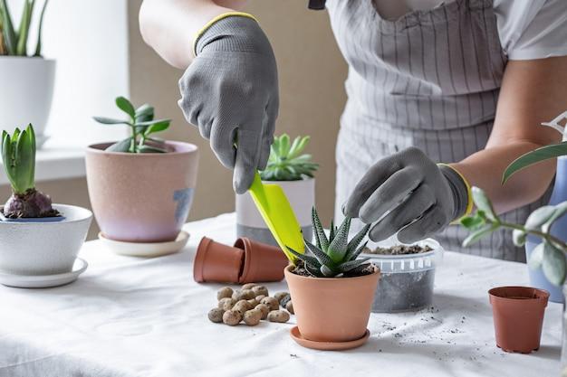 Frauenhand, die sukkulenten in keramiktopf auf dem tisch verpflanzt. konzept des innengartenhauses.