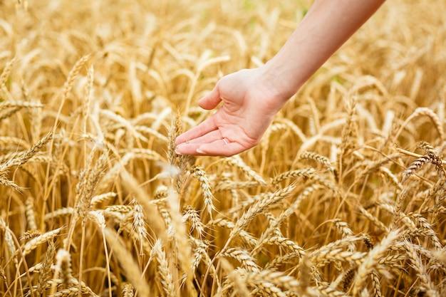 Frauenhand, die weizenähren auf feldhänden auf dem goldenen weizenfeld berührt frau, die ihre hand durch...