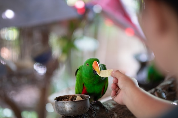 Frauenhand geben kartoffel für schönen grünen papageien