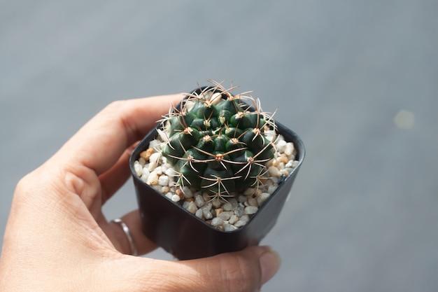 Frauenhand hält topf mit gymnocalicium cactus,