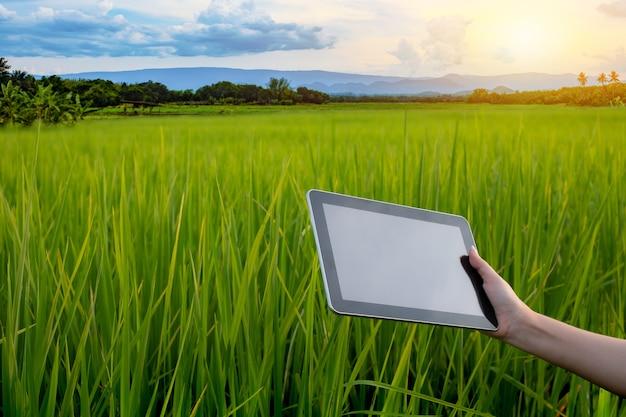 Frauenhandbauernhand, die tablette hält, während in grünen reissämlingen