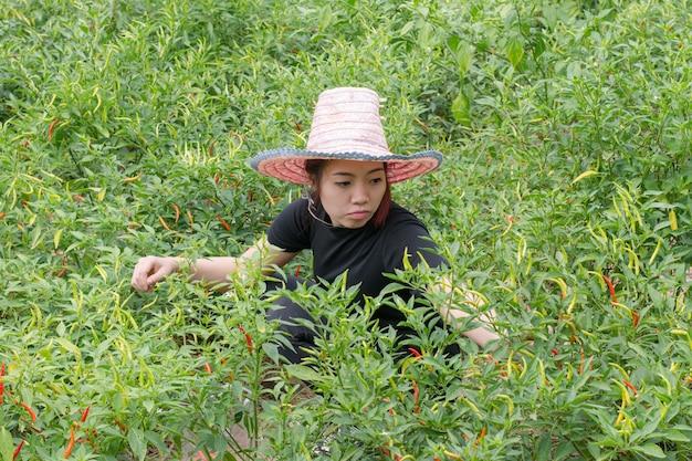 Frauenlandwirtsammelnpaprikas auf dem landwirtschaftlichen gebiet