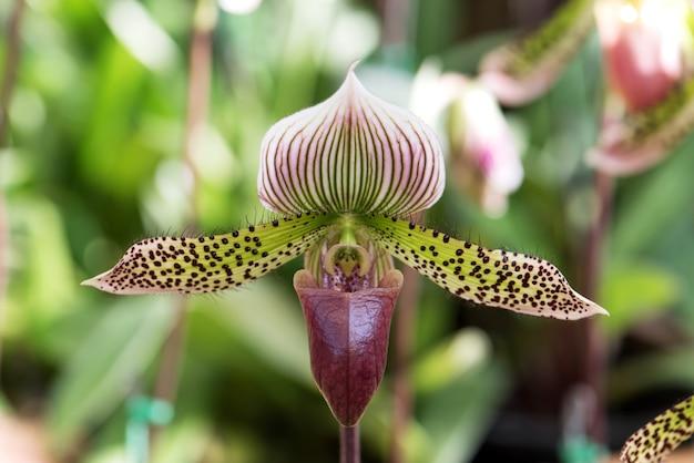 Frauenschuhorchidee, paphiopedilum-pantoffelorchidee in der blüte