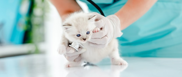 Frauentierärztin, die süßes ragdoll-kätzchen hält und sein herz während der medizinischen versorgung in der tierklinik untersucht. porträt eines entzückenden flauschigen reinrassigen kätzchens im tierkrankenhaus