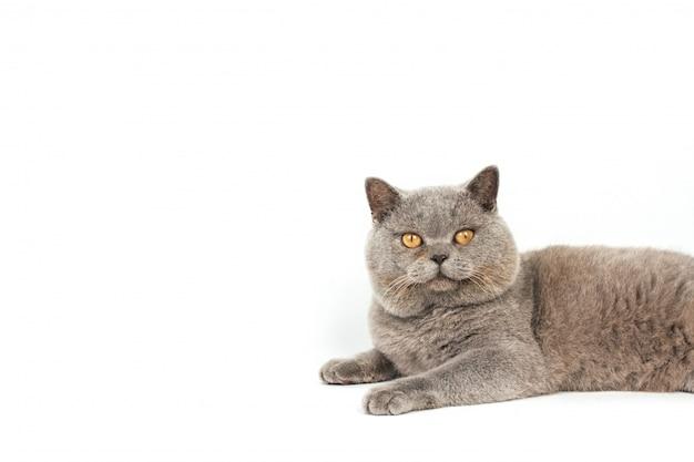 Freche graue katze mit gelben augen liegt auf einem weißen hintergrund.