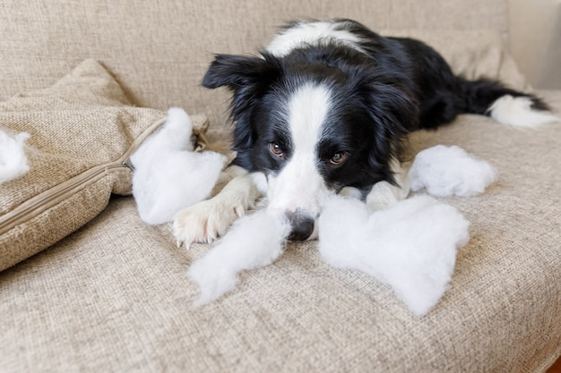 Frecher hündchen-grenzcollie nach unfug beißendem kissen, das auf couch zu hause liegt