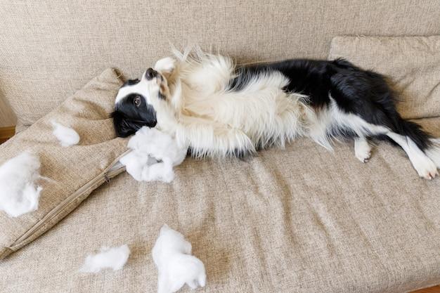 Frecher verspielter hündchen-grenzcollie nach unfug beißendem kissen, das auf couch zu hause liegt