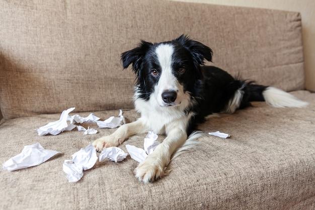 Frecher verspielter hündchen-grenzcollie nach unfug beißendem toilettenpapier, das zu hause auf der couch liegt. schuldiger hund und zerstörtes wohnzimmer. beschädigen sie unordentliches zuhause und welpen mit lustigem schuldigem blick.