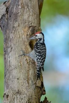 Freckle-breasted specht (männlich) passen babyvogel auf