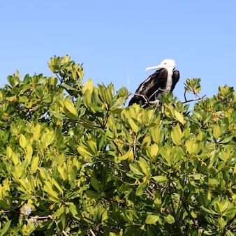 Fregattenvogelbaby in der contoy-inselmangrove