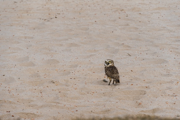 Freie eule in der natur beobachten auf dem sand der lagune in rio das ostras in rio de janeiro.