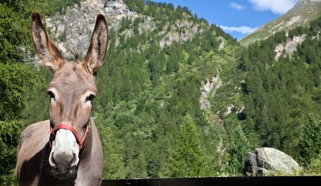 Freier esel auf italienischen alpen, der in die kamera schaut