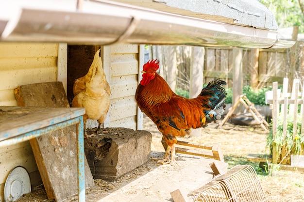 Freilandhühner auf bio-tierfarm, die im hof auf ranchhintergrund frei weiden lassen hühnerhühner gr...