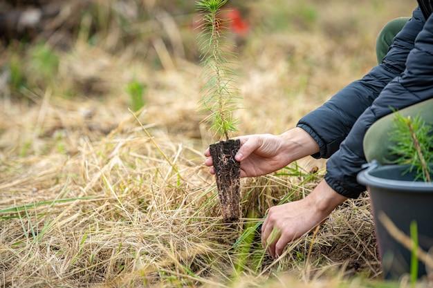Freiwillige rußte junge bäume, um die wälder nach dem borkenkäferangriff wiederherzustellen