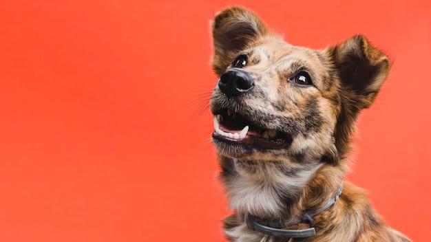 Freundlicher netter hund, der oben kopieraum schaut