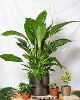 Friedenslilie, spathiphyllum, frauenglück mit sukkulenten