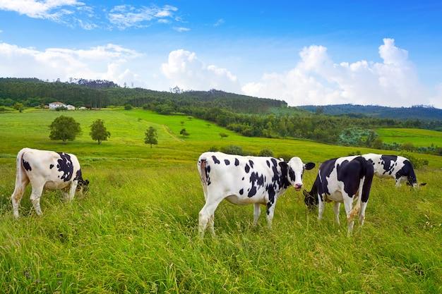 Friesische kühe in asturias-wiese spanien