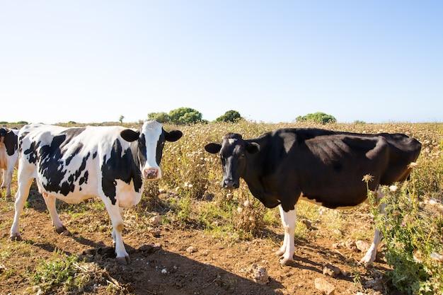Friesische kühe menorca, die in der nähe von ciutadella weiden lassen