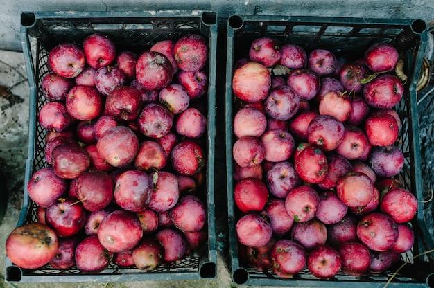 Frisch geerntete saftige aromatische rote äpfel in plastikkisten