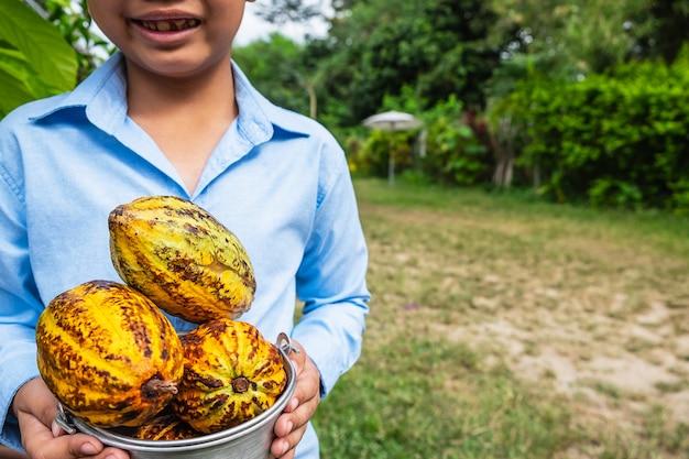 Frisch geernteter kakao von kakaobäumen.