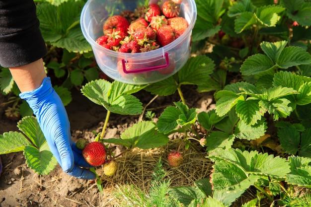 Frisch gepflückte rote reife erdbeeren in plastikschüssel über erdbeerpflanzen