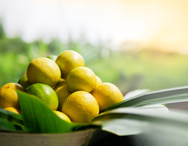 Frisch gereifte zitronen gepflückt, viele zitronen in einem weidenkorb mit bananenblättern verziert, mit