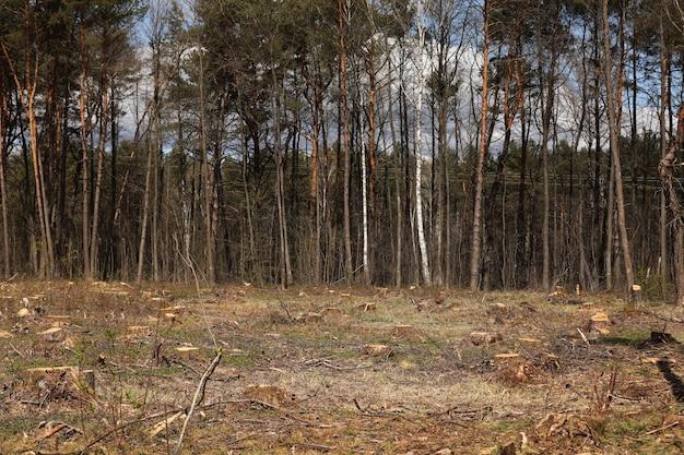 Frisch illegal geschnittene kiefernholzstümpfe im kiefernwald, konzeptionelles bild der entwaldung. baumstümpfe. selektiver fokus.