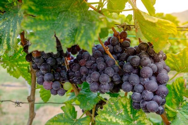 Frisch shiraz-trauben, weinberge in der herbsternte
