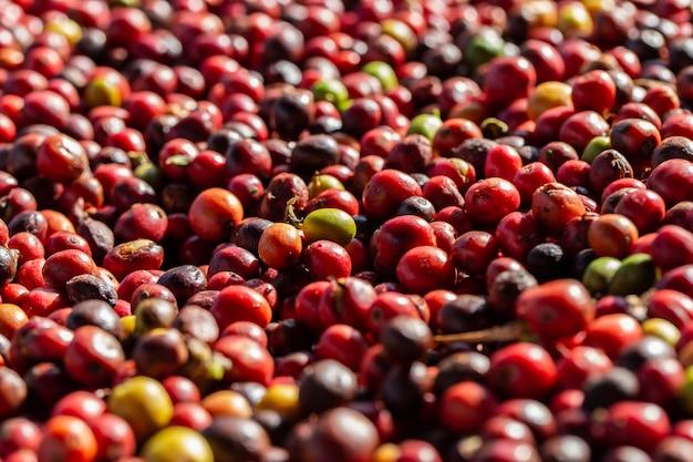 Frische arabica-kaffeekirschen. bio-kaffeefarm