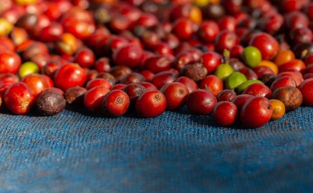 Frische arabica-kaffeekirschen