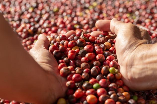 Frische arabica-rote kaffeebohnebeeren in der hand und trocknungsprozess