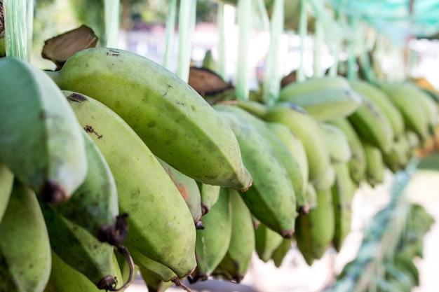 Frische bananen hängen in den regalen zum verkauf