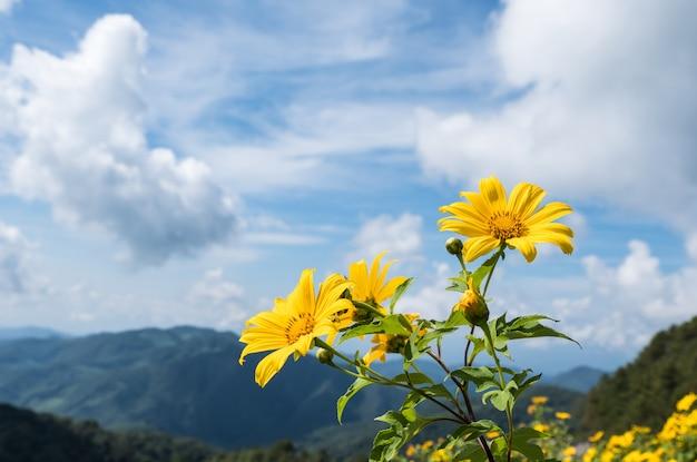 Frische baumringelblume (mexikanische sonnenblume). Premium Fotos