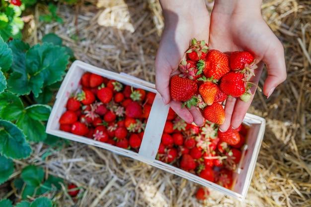 Frische bio-erdbeeren in den händen einer frau