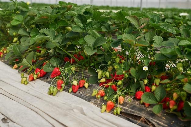 Frische bio-erdbeeren reifen im großen gewächshaus