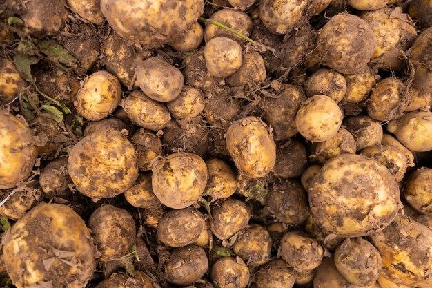 Frische bio-kartoffeln als kulisse für food-themen. kartoffeln sind reich an kohlenhydraten gemüse, gut für die muskeln und gesunde ernährung