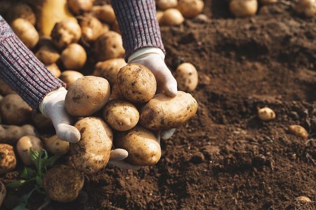 Frische bio-kartoffeln auf dem feld