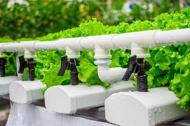 Frische bio-salatsalatpflanze aus grünen blättern im hydrokultur-gemüsefarmsystem