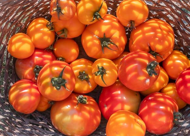 Frische bio-tomaten in weidenkorb nahaufnahme draufsicht ernte im sommer tageslicht