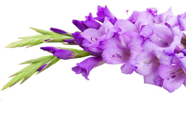 Frische blaue gladiolenblüten hautnah isoliert auf weißem hintergrund