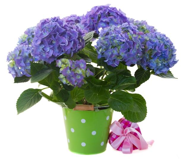 Frische blaue hortensienblumen im grünen topf mit geschenkbox lokalisiert auf weißem hintergrund