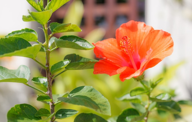 Frische blühende orange farbe hibiscus (rosenmalve) blume, dekorative blühende zimmerpflanze