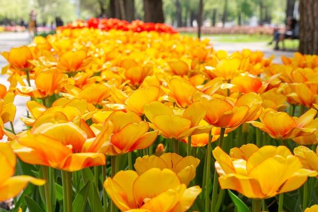 Frische blumen der bunten tulpen an einem undeutlichen weichzeichnungsabschluß herauf bokeh