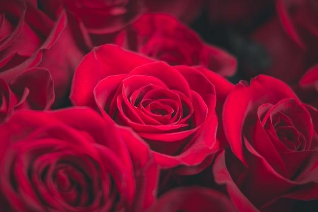 Frische dunkelrote rosen schließen herauf beschaffenheitshintergrund
